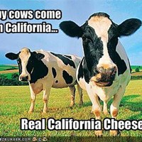 california cheese cows