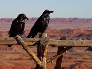 Corvus_corax_arizona