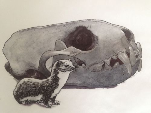 Mustela nivalis and skull of Gulo gulo